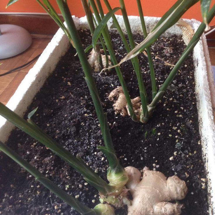 Como Cultivar Jengibre En Maceta de forma sencilla podremos plantar jengibre en casa cultivado de forma casera y en pocos meses cosecharlo y disfrutarlo.