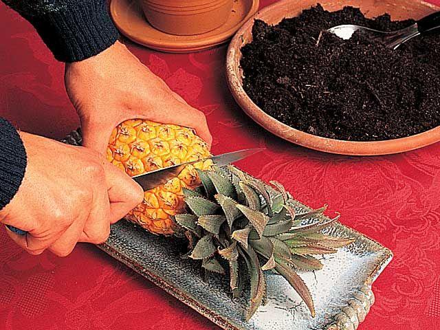 www.rustica.fr - DIY - Bouture originale, un ananas comme plante d'intérieur - Couper l'ananas