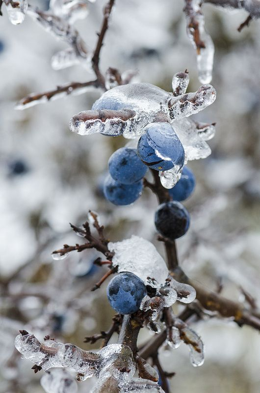 Ice Covered by Sloe Berries by The Adventurous Eye