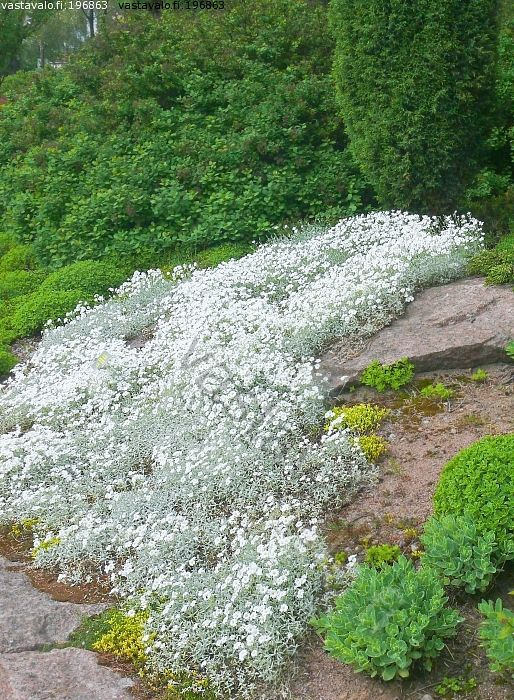 AURINGON MAANPEITTOKASVI hopeahärkki kukkii valkoisena toukokuussa, lehdet hopeanharmaat. Tekee nopeasti tuuhean ikivihreän peittävän maton, jota vasten kukkarivi erottuu kauniisti.