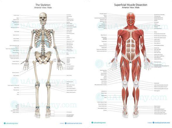 100 best Homeschool - Anatomy images on Pinterest   Human body ...