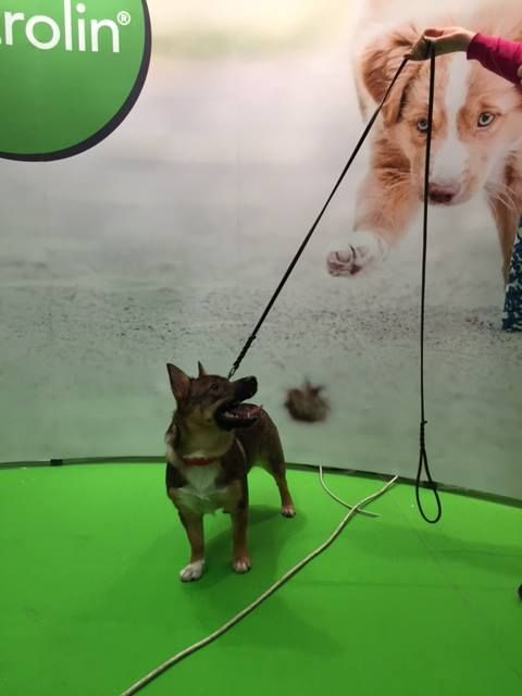 "A very nice Swedish Vallhund (known as ""Västgötaspets"" in Sweden) visited us at our stand at MyDOG 2015."