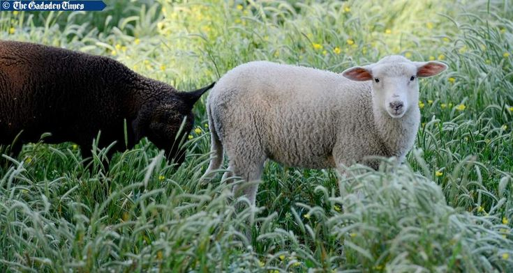 Our lambs.