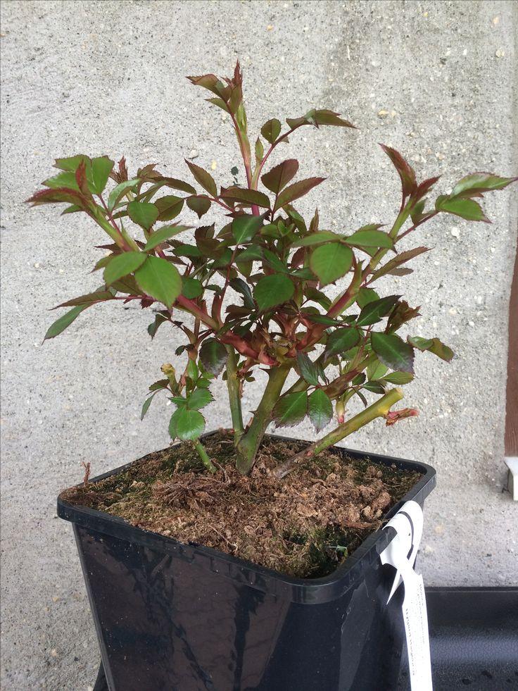 Har kjøpt rosebuska til hagen ❤️