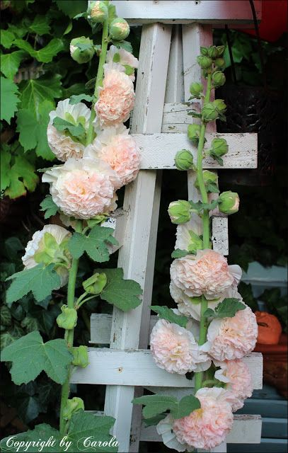 Double hollyhocks  : 1) Biennial plant that blooms the second year after sprouting. 2) Height 6 feet. 3) Select a south-facing, well-draining location in the garden that receives at least 6 hours of sun daily. 4) Attracts butterflies