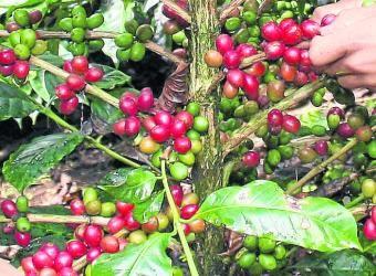 El ingreso cafetero aumentaría este año 47%  Los productores de café entraron de nuevo en una etapa de ingresos favorables gracias a la combinación de los buenos precios del grano en el mercado internacional y al aumento de la producción.  Hasta julio, la producción de los últimos 12 meses llegó a 11,7 millones de sacos. (Portafolio.co)