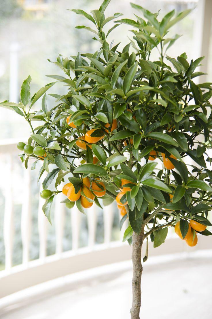 Tropikalny akcent w ogródku czy na balkonie. Cytrusy! https://www.obi.pl/decom/product/Drzewka_cytrusowe_-_r%C3%B3%C5%BCne_gatunki_%28Citrus_sp.%29/6175285 #spring #gardening #ogród #wiosna #wiosnawogrodzie #roślinyogrodowe