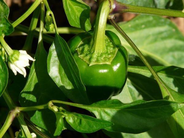 Se gosta de pimentão, esse artigo é para si! #pimentão #plantar #horta