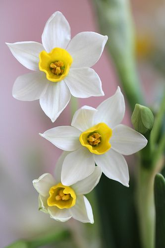 Narcissus perennials,  common names include daffodil & jonquil white yellow