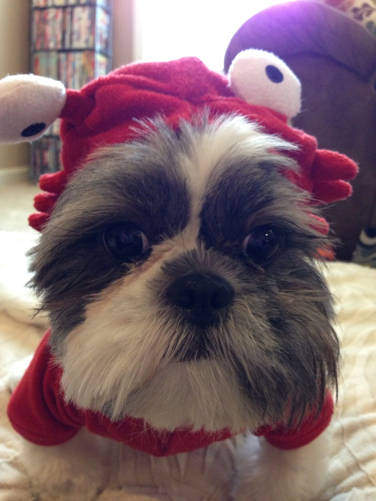 17 best Shih tzu images on Pinterest | Shih tzus, Animals ...