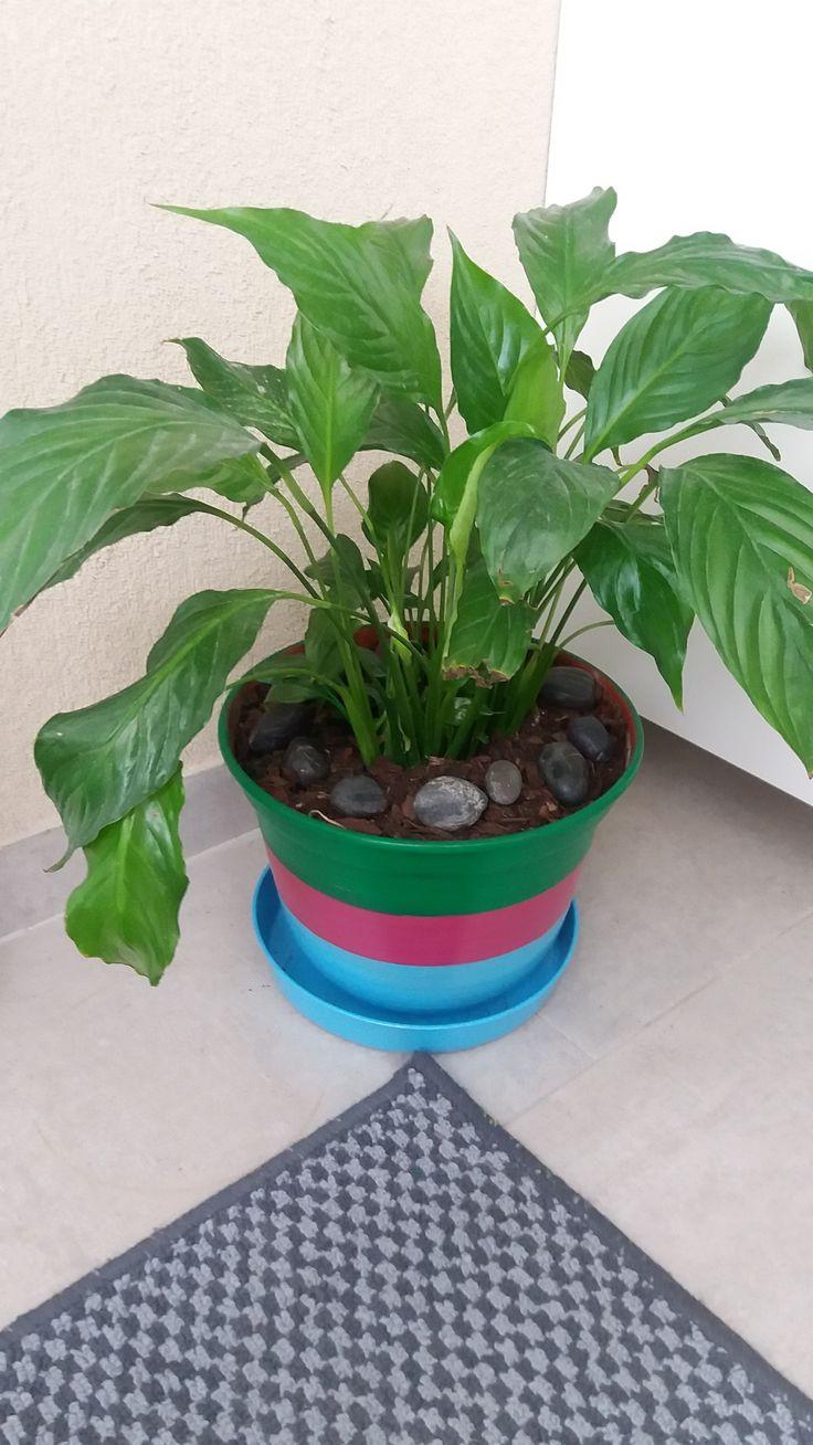 """Lírio-da-paz - """"Spathiphyllum wallisii"""". Planta e Vaso reaproveitados."""