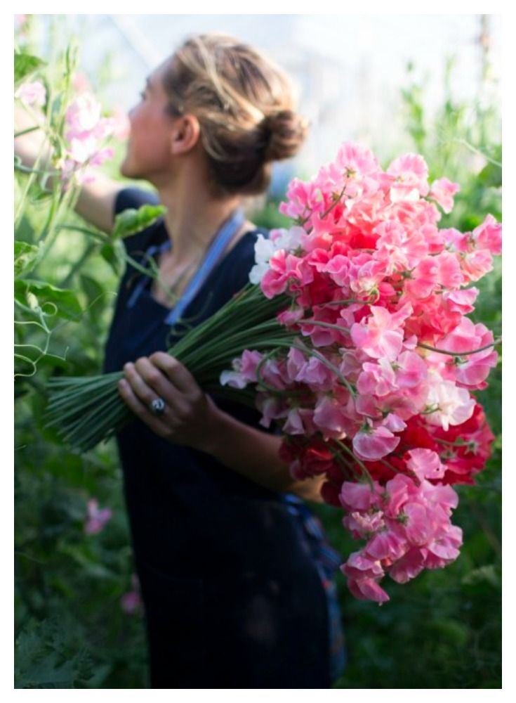 The secrets to growing extra long stemmed sweet peas from Floret Flower Farm.