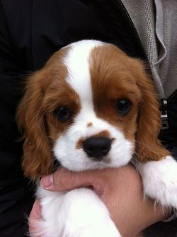 King Charles cavalier puppy, one day