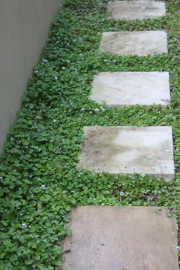 Native Violet in stepping stones - viola hederacea Google Search