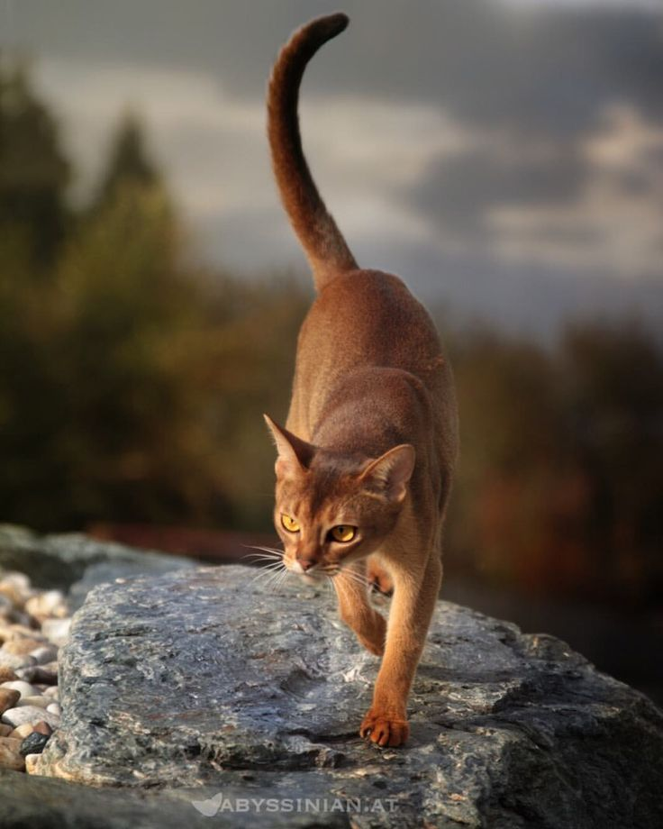 "1,049 Likes, 16 Comments - AMBERAMULETT Abessinier Katzen (@abyssinian.at) on Instagram: ""Today is a really special #Caturday - that's why we are sending lots of love ❤️ to all our friends…"""