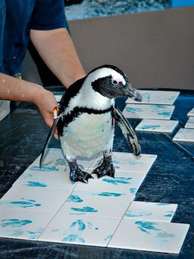 Penguin Picassos, Mystic Aquarium via zooborns #Penguin #Footprint