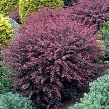Berberis thunbergii Rose Glow - 1 shrub