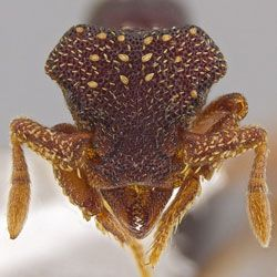 A total of 33 previously unknown ant species have been discovered in Central America and the Caribbean. The nearly blind ants live in leaf litter and rotten logs in rainforests and are all quite tiny, each less than one-twelfth of an inch (2 millimeters) in length, according to new research.