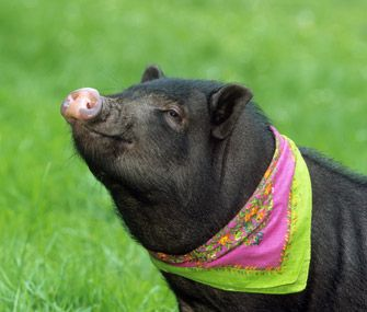 Vetstreet's Dr. Patty Khuly discusses the many reasons why she's not keen on the idea of people keeping teacup pigs as pets.