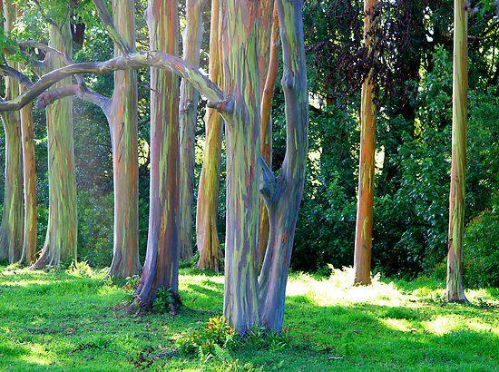 Rainbow Eucalyptus trees on the road to Hana on Maui