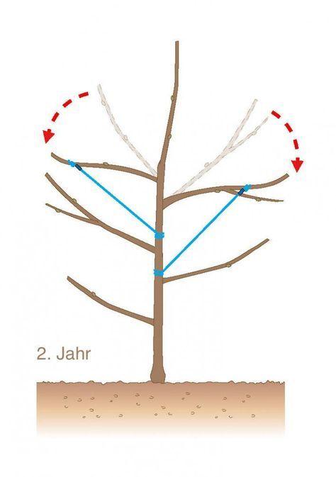 Obstbaum schneiden 2. Jahr