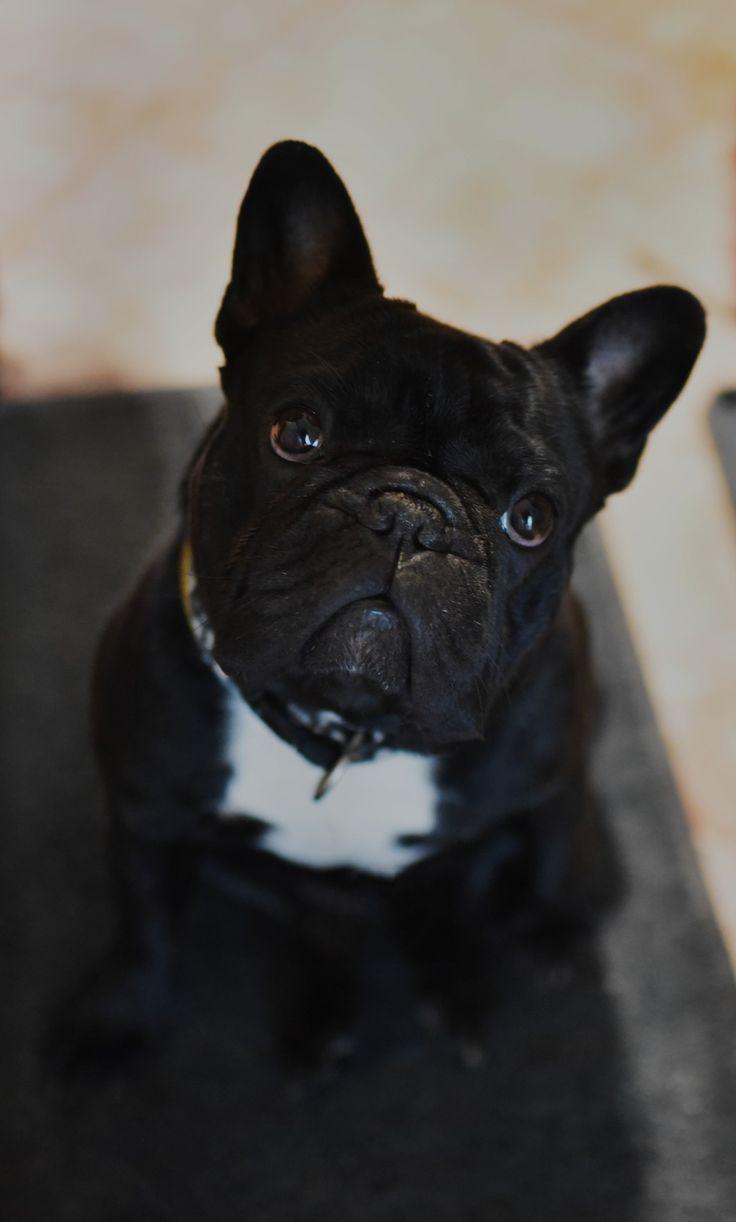 French Bulldog - photo by Jiří Klatovský