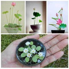 10 seeds/pack Mini lotus seeds water lily seeds.semi Idroponica pianta semi di loto ciotola dell'acqua grezza raising piccolo.(China (Mainland))