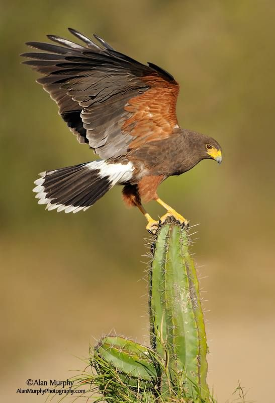 """Harris Hawk. A brilliant bird, common in Arizona, that """"team hunts."""" Four or five Harris Hawks will pursue one critter, until it's exhausted and basically collapses. Then, it's a free for all among the pursuers for the spoils. But...thing is, it's COOPERATION."""