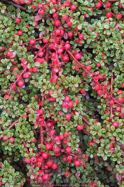 Cotoneaster Dammeri Streib S Findling Dwarf Dwarfevergreenwhite Flowersmy