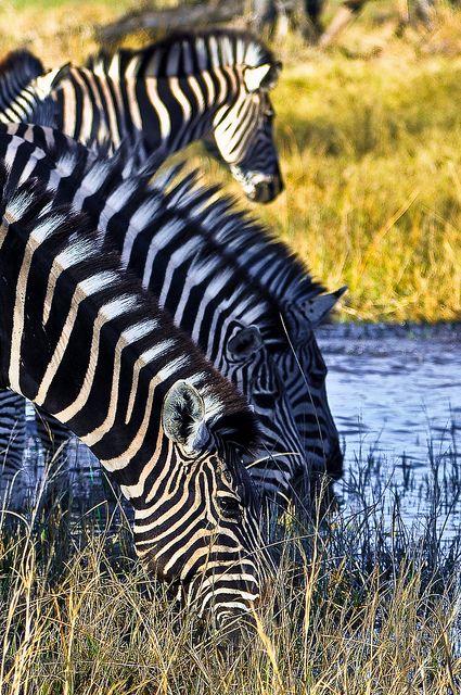 Moremi Reserve, Okavango Delta, Botswana.  Photo: youngrobv, via Flickr