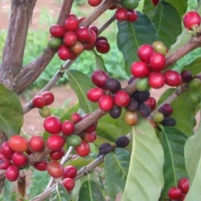 Coffea arabica / Café