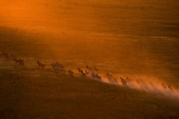 The zebra migrations in Botswana  filmed by National Geographic Explorers-in-Residence Dereck and Beverly Joubert  see zebra family groups joining together to make the hazardous round trip, a journey that can take a toll on young mothers.