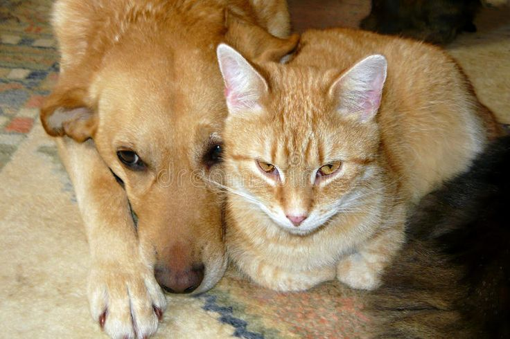 Pet Cat And Dog Royalty Free Stock Images