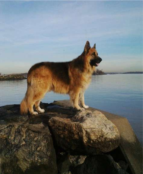 king shepherd dog photo | King Shepherd Home page