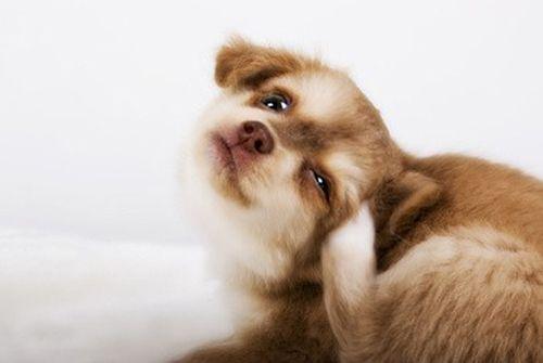 204 antiparasitaire chien