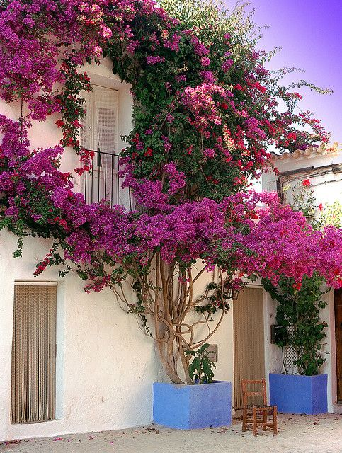 a love affair with bougainvilla, I need to plant more bougainvilla. every color, around my house.