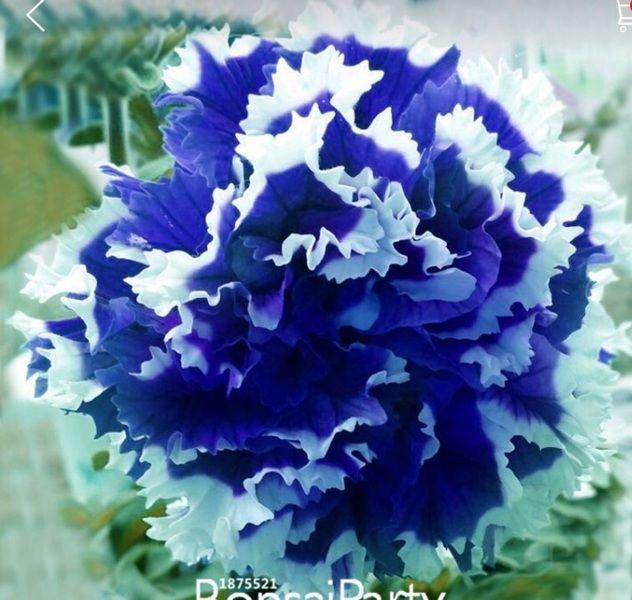 228 best pretty flowersplants images on pinterest beautiful rare plants petunia seeds purple petunia petals garden home bonsai balcony flower petunia flower seeds mightylinksfo Image collections