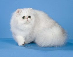 Cherrybirdie Cattery: Persian and Himalayan cats and kittens