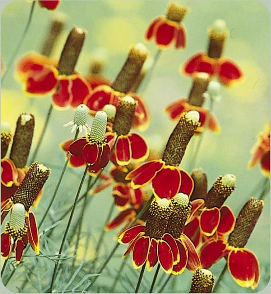 Мексиканская шляпа цветы