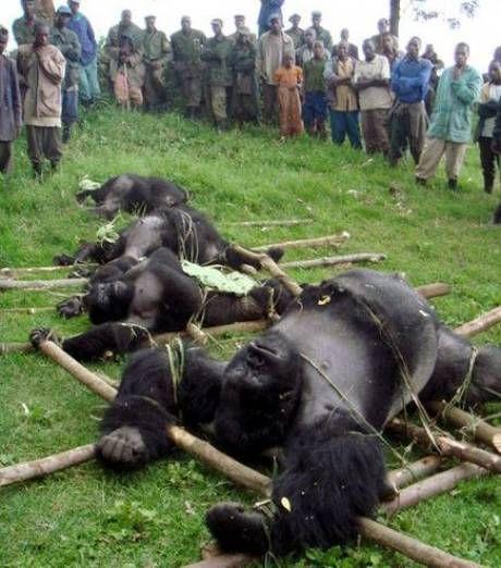 Quatre gorilles des montagnes massacrés par des braconniers