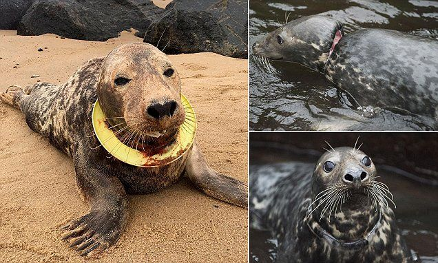 Seal found with Frisbee around her neck to return to North Sea #DailyMail