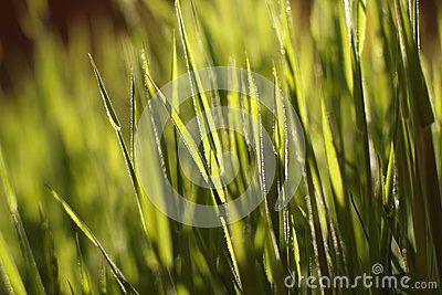Intensive green grass in the sun