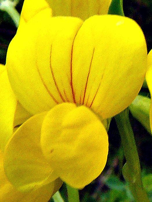 Lotier corniculé : Fleur