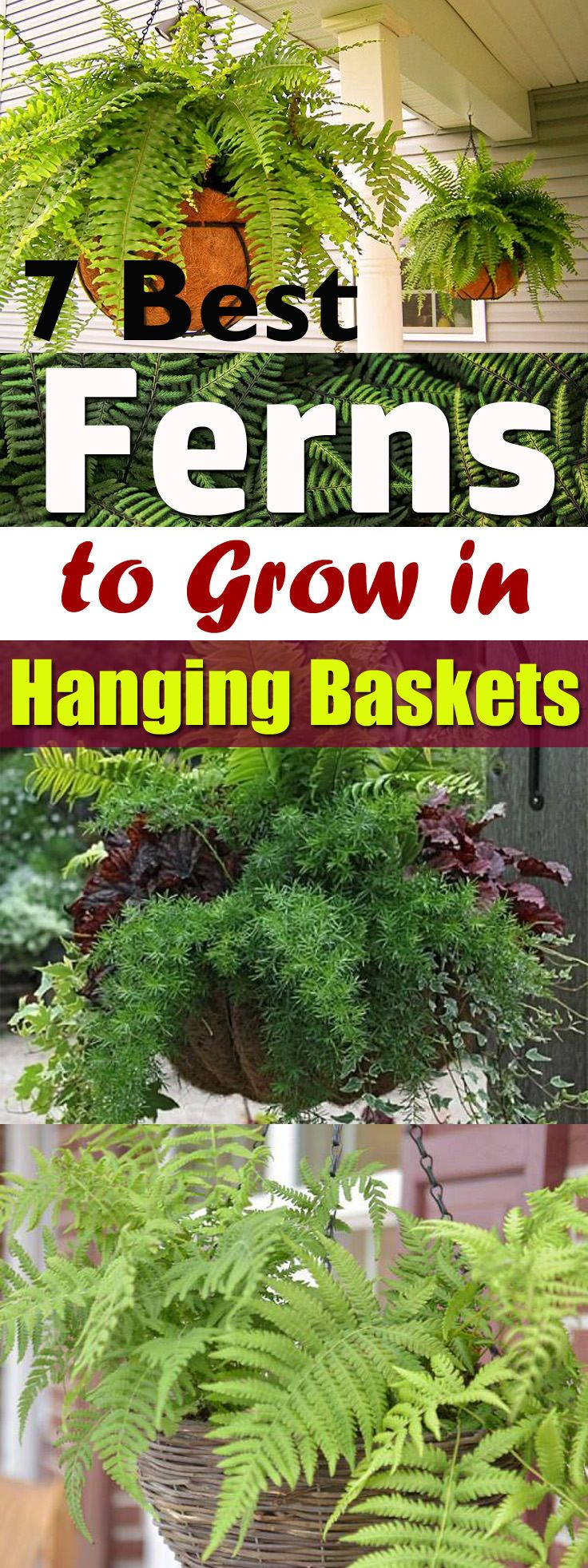 Learn about the best hanging ferns! As ferns growing in hanging baskets can improve the curb appeal of your home, you must try one of these here on the list!