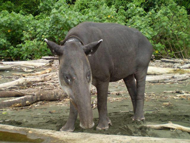 Tapir Suriname