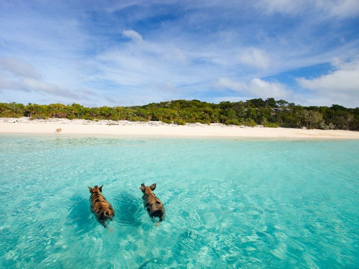 Exuma - The Bahamas Pig Beach in Exuma is an uninhabited island, famed for its ocean swimming feral pigs. According to local legend, the pigs were originally dropped of on the island by sailors, who...