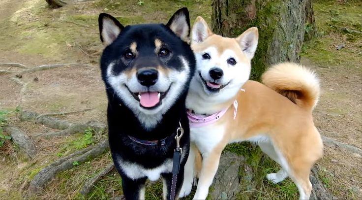 """離れてもすぐにくっついちゃう♡ 2匹の柴犬の """"仲良しっぷり"""" に、ホッコリな51秒♫ :: PECO(ペコ)"""