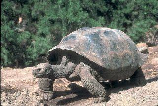 Tartarugas-das-Galápagos ou Tartarugas-gigantes (Geochelone nigra)