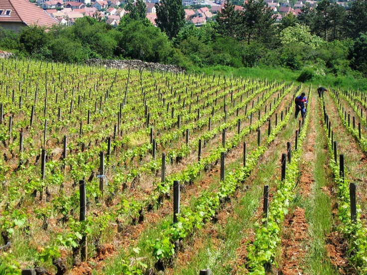 Domaine Emmanuel Giboulot's organic and biodynamic vineyards are in the Côte de Beaune, Burgundy, France.