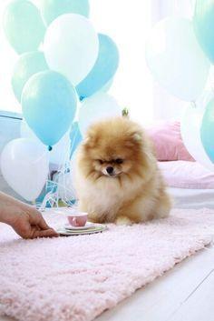Tea time for this Pomeranian